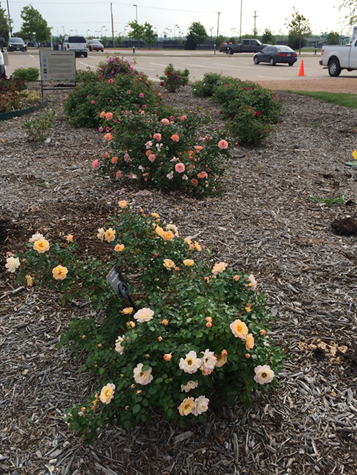 Dwarf Rose Trials in April, 2015
