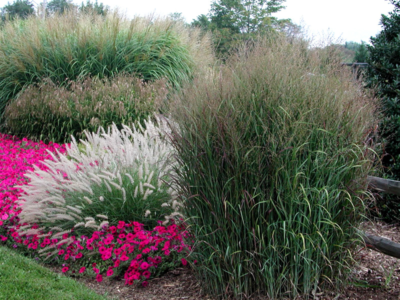 Ornamental grasses add height and visual interest to a garden.
