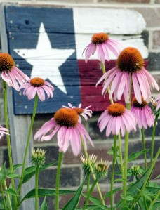 Purple Coneflowers Echinacea purpurea