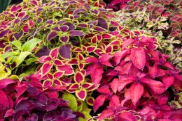 Coleus - Full sun to medium shade, depending on the variety.