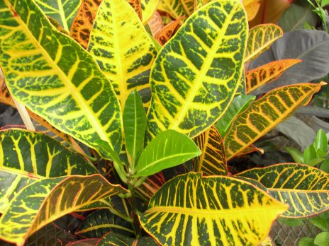 Croton - Medium shade to full sun.