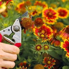 Deadheading an Arizona Sun Gaillardia.