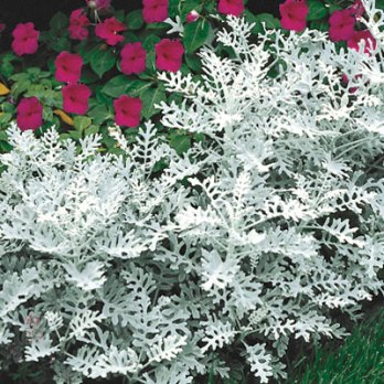 Dusty Miller - Light shade to full sun.