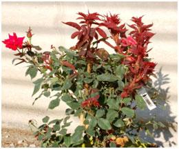 rose-rosette-disease