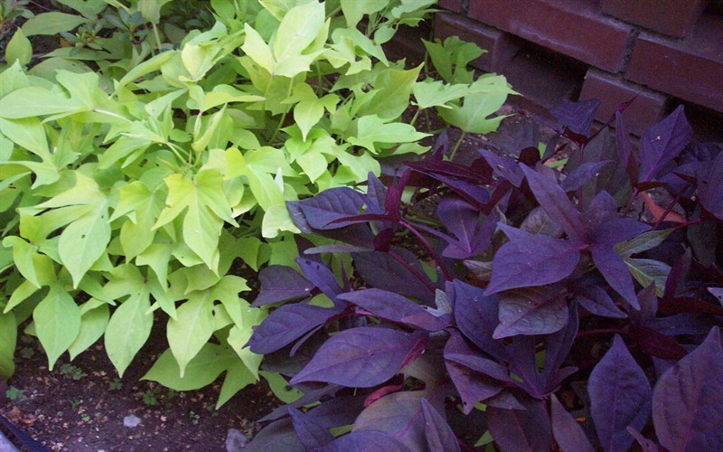 Sweet Potato Vine - Left - Marguerite and right - Blackie. Light shade to Full Sun.