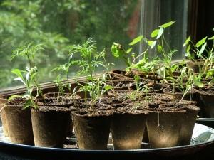 seedstarting