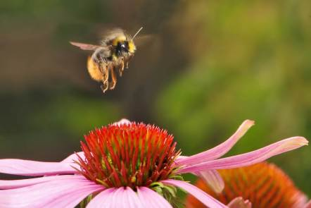 Honeybee hovers over a purple coneflower.