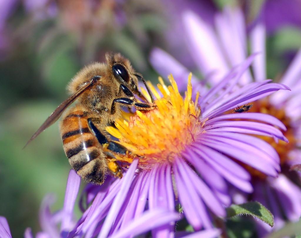 Honeybees In North Texas