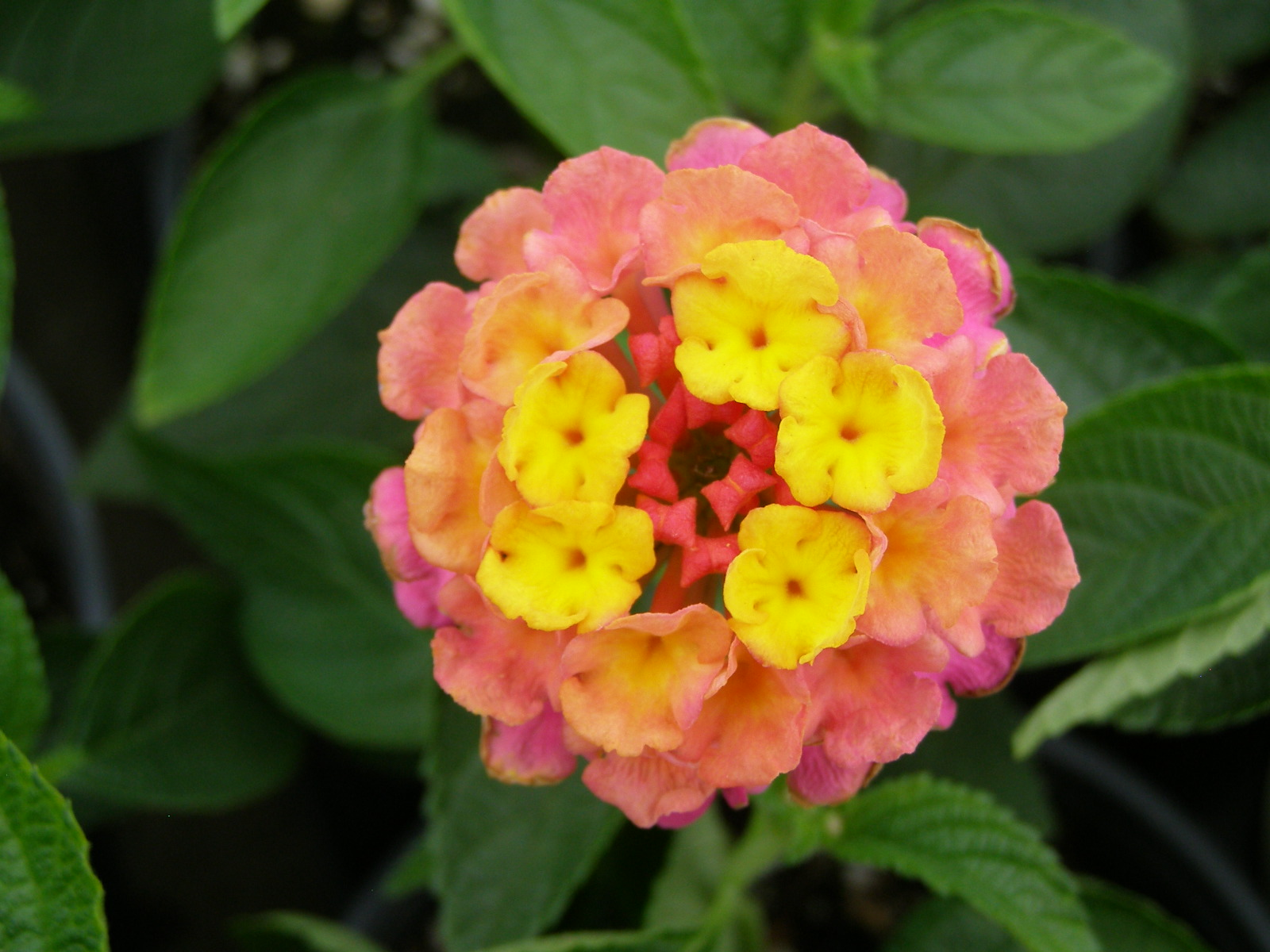 Facts About the Lantana Flower | Dengarden