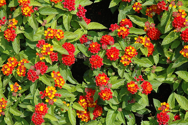 Lantana -Summer Color That's Tough as Nails - Greenhouse Product News