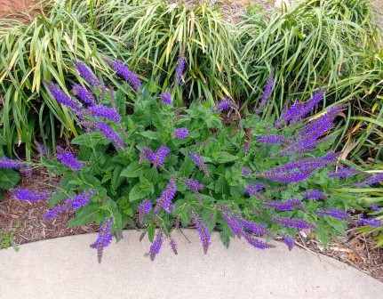 Just one of the many varieties of salvia.