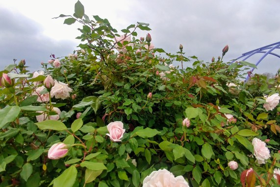 Spice Old Garden Rose